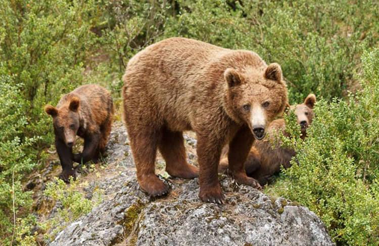 oso-pardo-hosquillo-grupoasdon