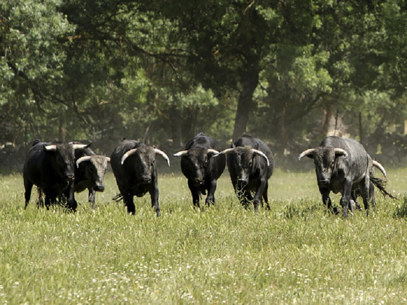 Un día entre toros bravos